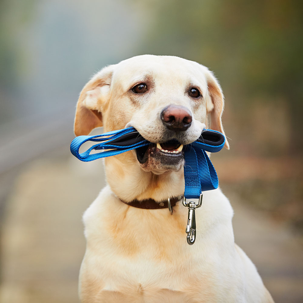 puppy holding leash in its mouth