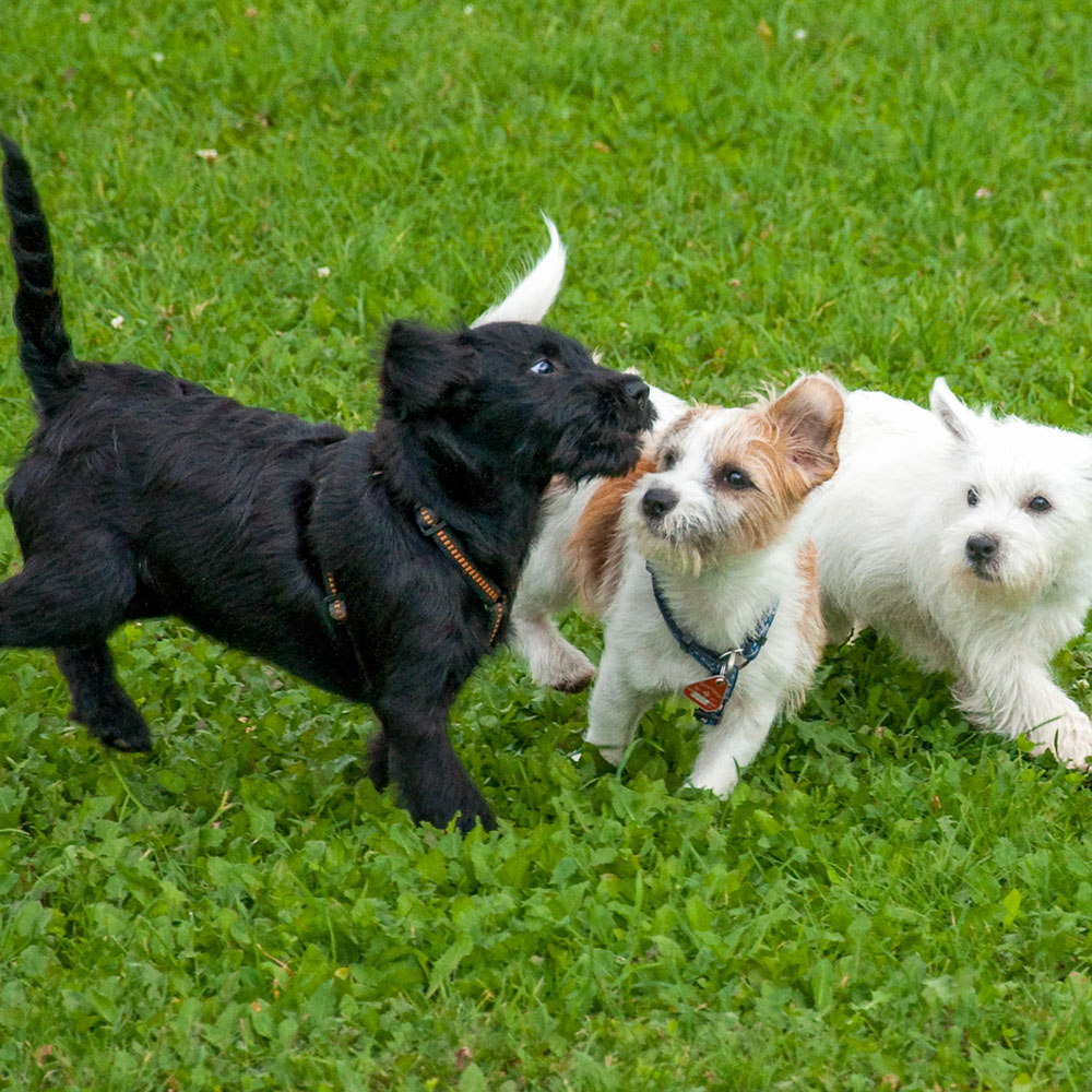 puppy socialization service lets puppies play together