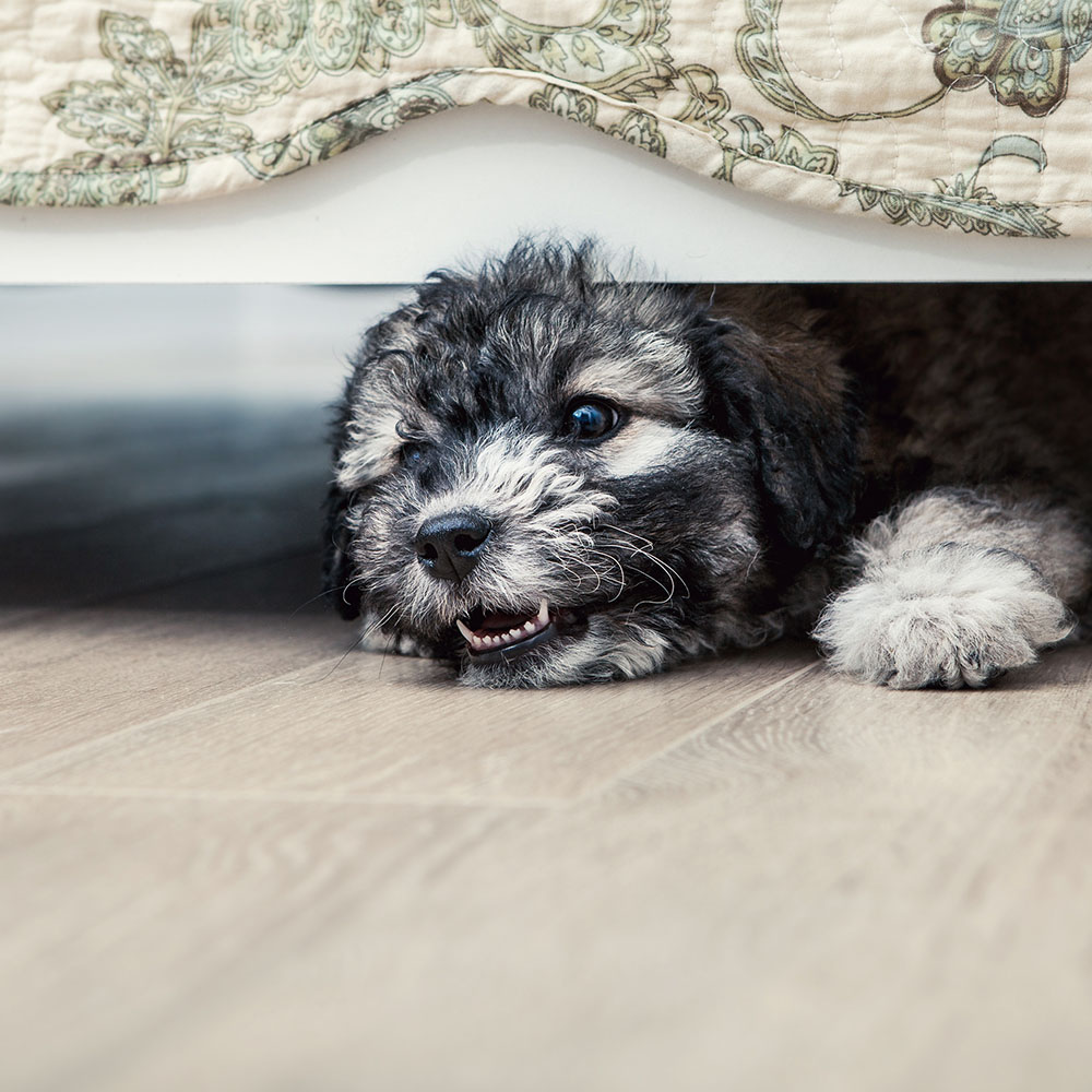 small dog hiding under the bed
