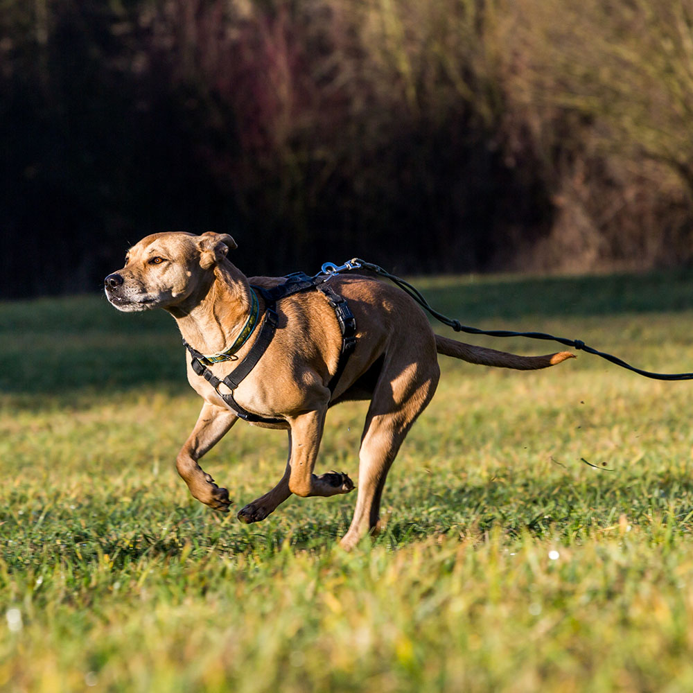 large dog wearing a harness and running in a field